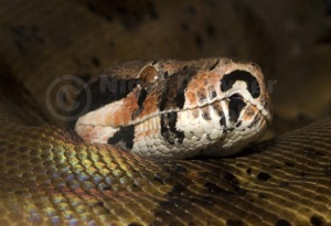RE-0086 Hypo Columbian boa