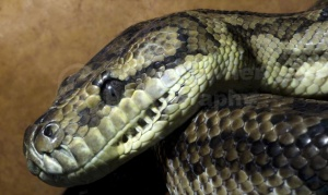 RE-0087 Carpet python
