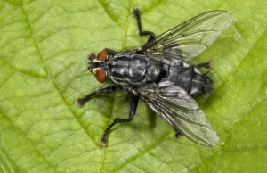 IN-0002 Flesh-fly