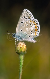 IN-0005 Common Blue butterfly