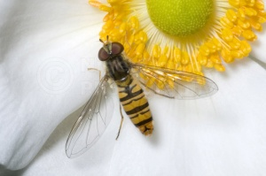IN-0007 Marmalade icon hover-fly
