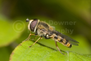 IN-0009 Hover-fly