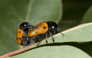 IN-0012 Leaf beetles