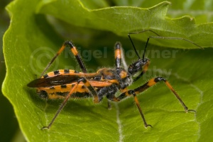 IN-0015 Assassin bug