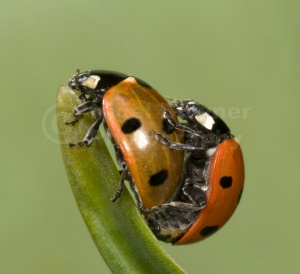 IN-0017 7-spot ladybirds