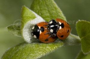 IN-0018 7-spot ladybirds