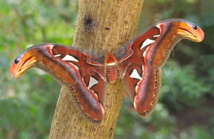 IN-0023 Giant atlas moth