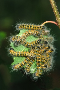 IN-0024 Buff-tip moth larvae