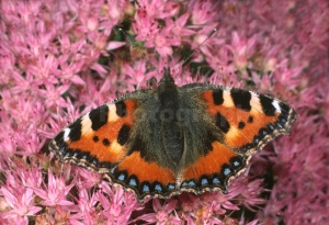 IN-0025 Small tortoiseshell butterfly