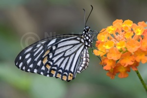 IN-0026 Common mime butterfly