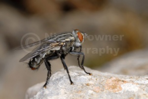 IN-0029 Flesh-fly