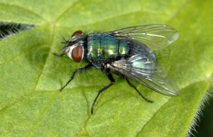 IN-0030 Greenbottle fly