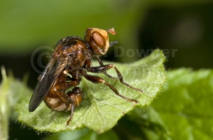IN-0033 Thick-headed fly