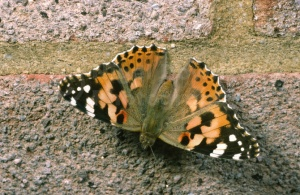 IN-0041 Painted lady butterfly