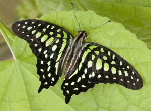 IN-0051Tailed jay butterfly