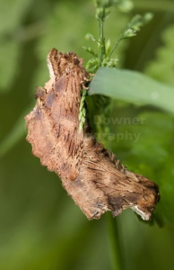 IN-0052 Coxcombe prominent moths