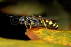 IN-0058 Field digger wasp