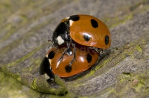IN-0064 7-spot ladybirds