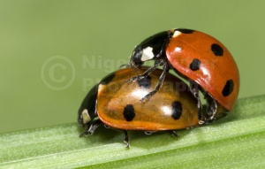 IN-0065 7-spot ladybirds