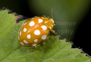 IN-0069 Orange ladybird