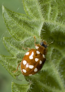 IN-0070 Cream spot ladybird