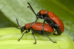 IN-0073 Lily beetles mating