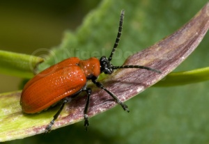 IN-0084 Lily beetle