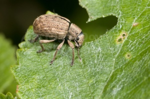 IN-0094 Weevil