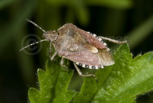 IN-0103 Sloe bug