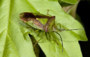 IN-0104 Hawthorn shieldbug