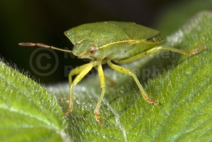IN-0105 Green shieldbug
