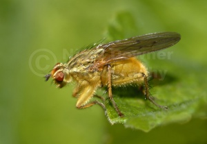 IN-0108 Yellow dung fly