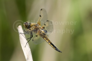 IN-0112 Four-spotted chaser dragonfly