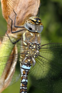 IN-0114 Migrant hawker dragonfly