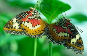 IN-0120 Red Lacewing butterflies mating