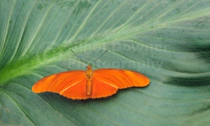 IN-0122 Flambeau butterfly