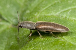 IN-0125 Click beetle