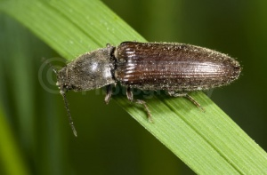 IN-0126 Click beetle