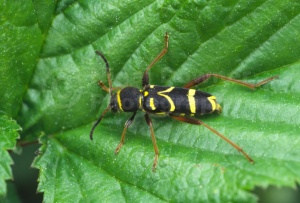 IN-0127 Wasp beetle