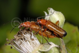 IN-0128 Soldier beetles