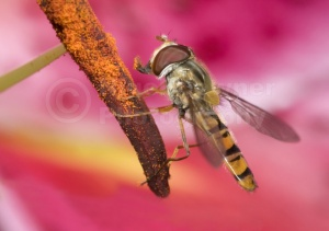 IN-0132 Marmalade icon hover-fly