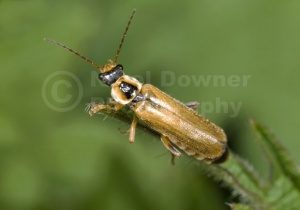 IN-0141 Soldier beetle