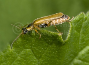 IN-0142 Soldier beetle