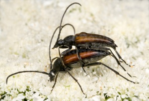 IN-0143 Longhorn beetles mating