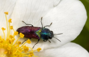 IN-0146 Pasture splendour beetle