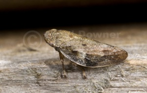 IN-0150 Common froghopper