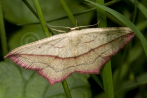 IN-0154 Blood-vein moth