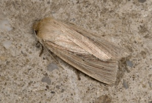 IN-0155 Smokey wainscot moth
