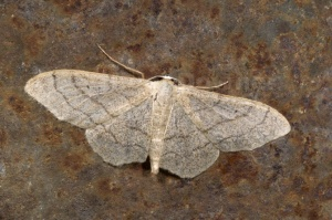 IN-0158 Riband wave moth - remutata form