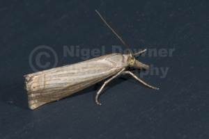 IN-0159 Garden grass-veneer moth